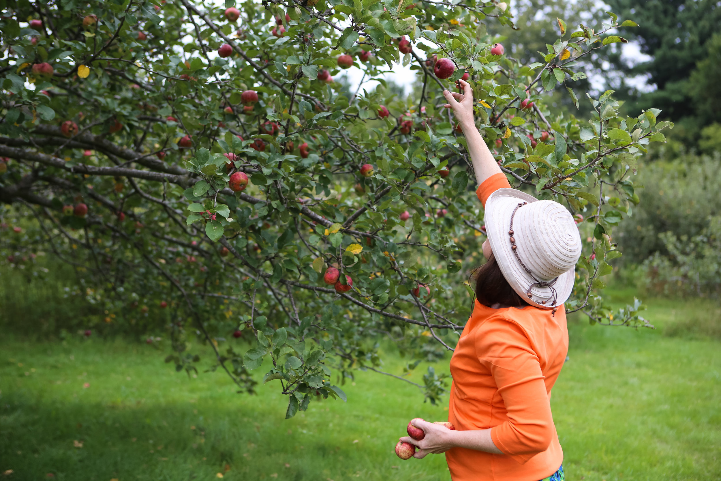 Ripe for the picking: Springtime blooms yield thousands of ripe heirloom apples in Seed Savers Exchange's Historic Orchard each summer and fall.