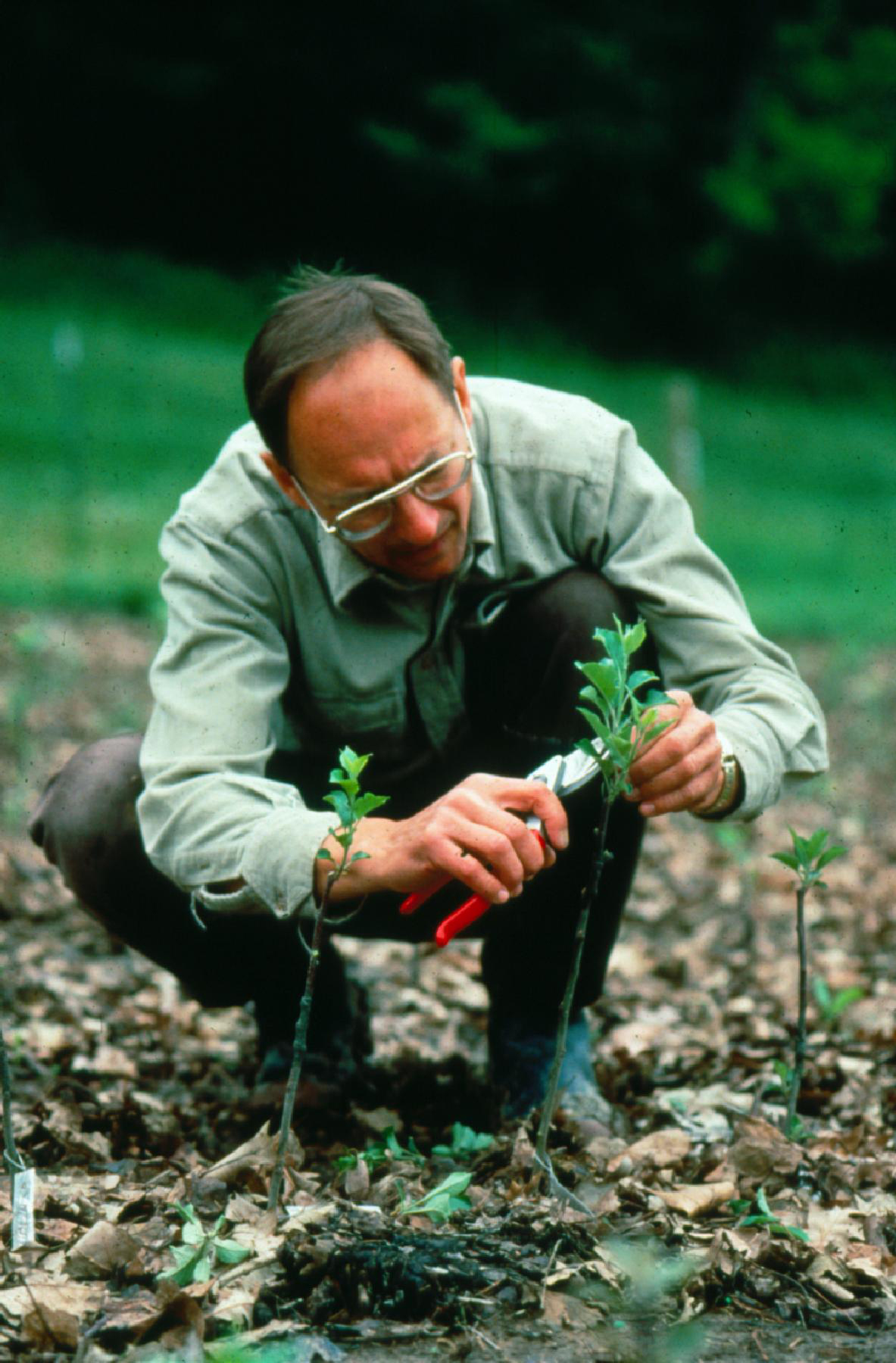David Sliwa, first orchard manager at Seed Savers Exchange, prunes side shoots in the temporary nursery at Heritage Farm, about 1990.