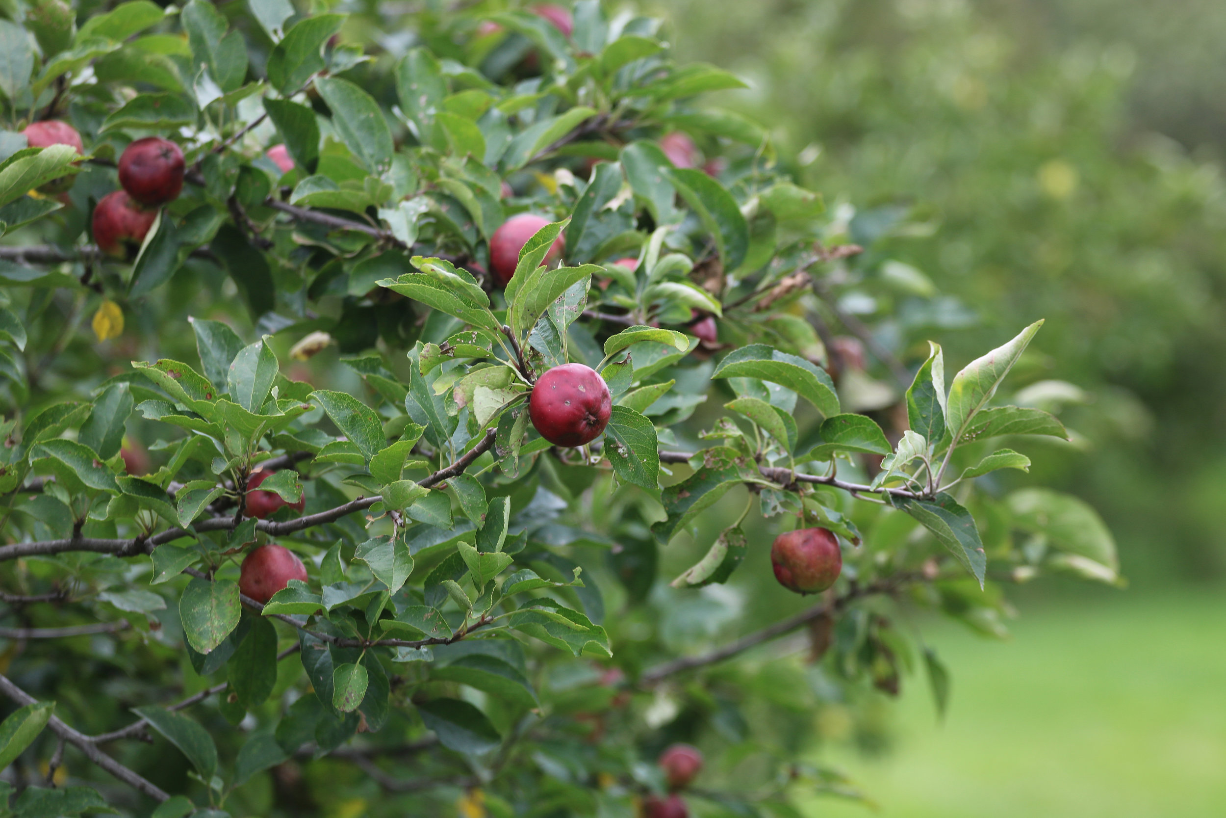 Rare apples ripen in the Seed Savers Exchange Historic Orchard this August.