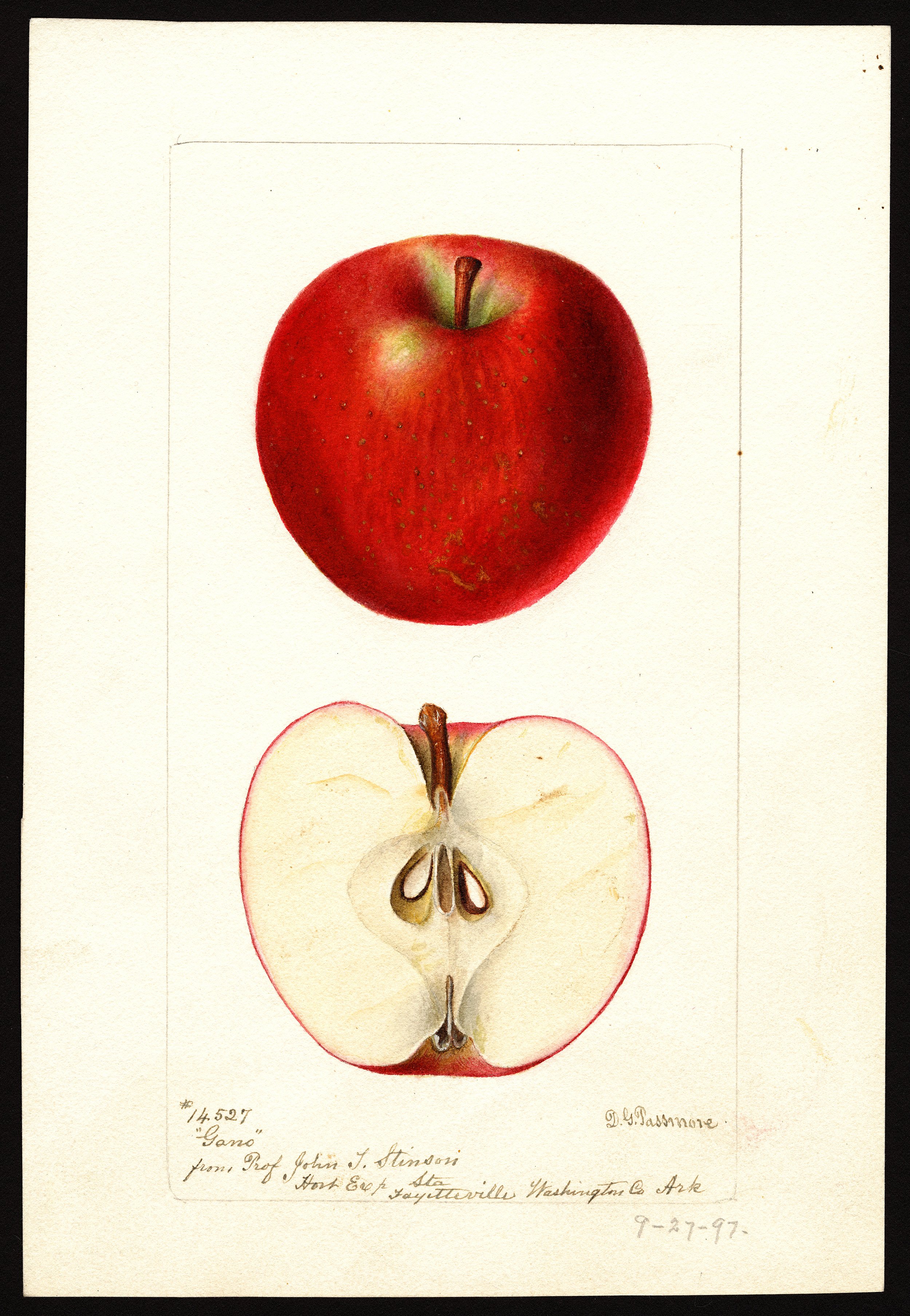 The Gano apple, as depicted in a drawing from the U.S. Department of Agriculture (USDA) Pomological Watercolor Collection.