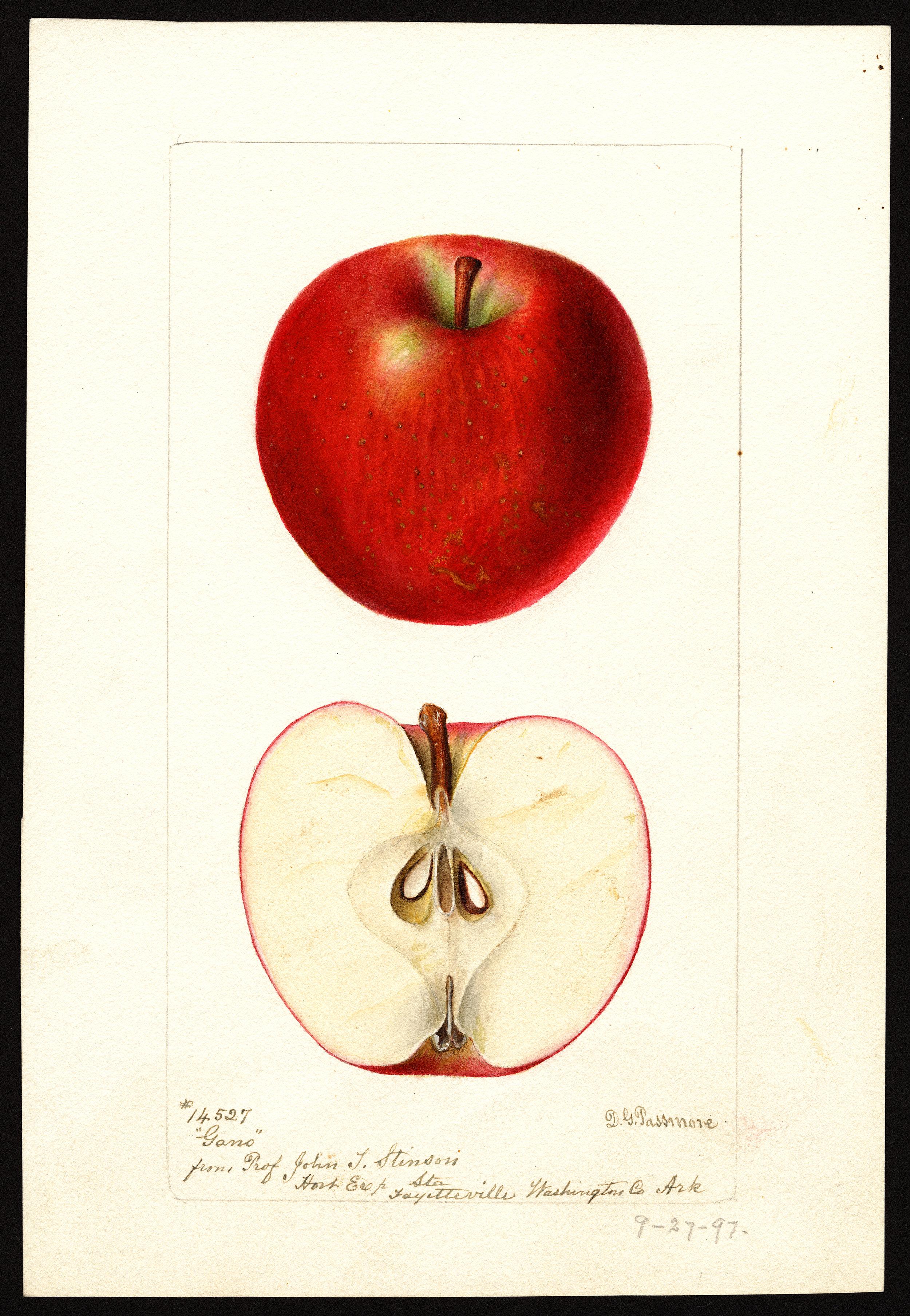 苹果,从美国画的画中。瓦妮莎·格林:《分类》杂志。