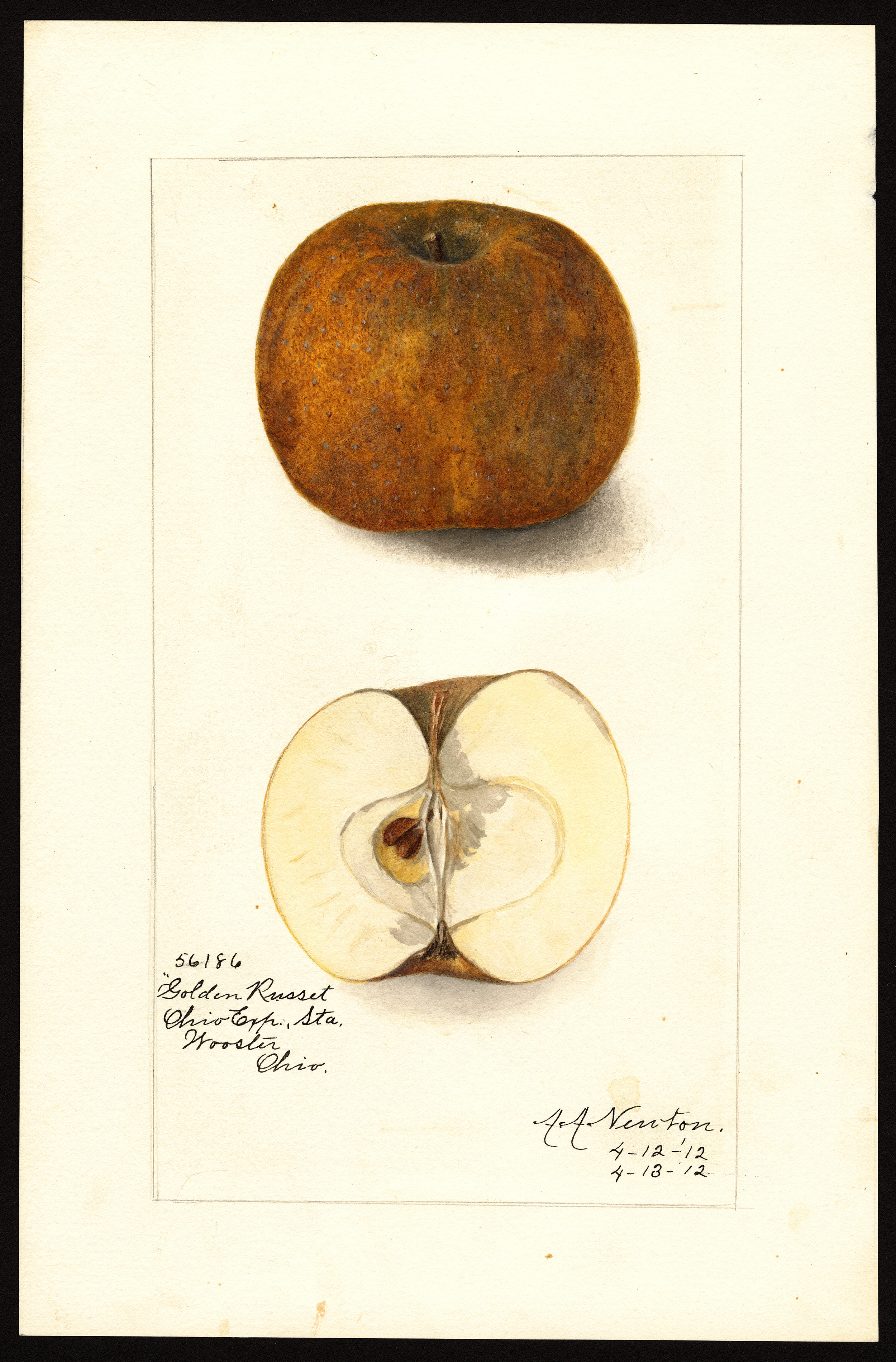 The Golden Russet apple, as depicted in a drawing from the U.S. Department of Agriculture (USDA) Pomological Watercolor Collection.