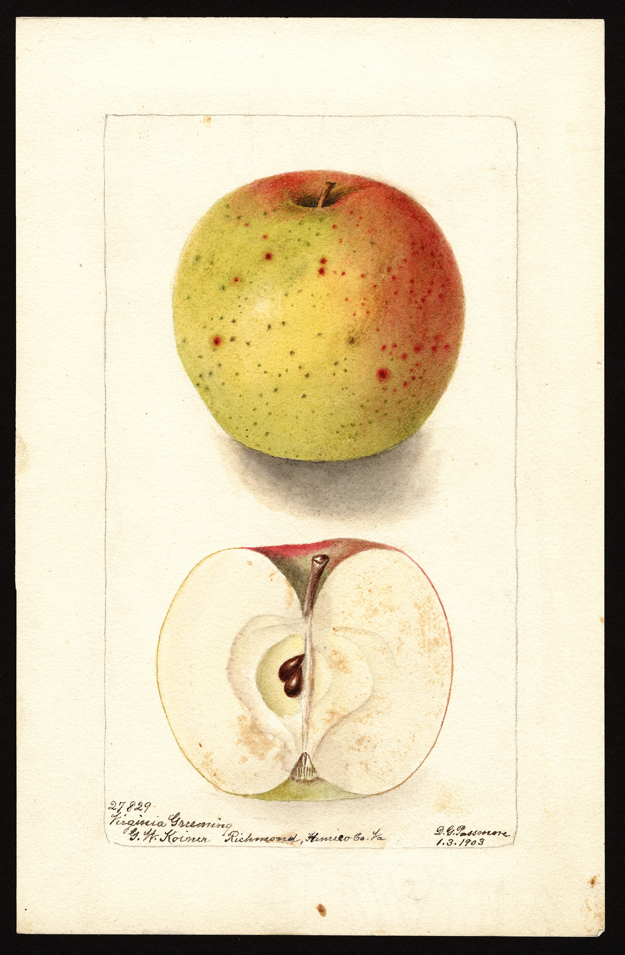 The Virginia Greening apple, as depicted in a drawing from the U.S. Department of Agriculture (USDA) Pomological Watercolor Collection.