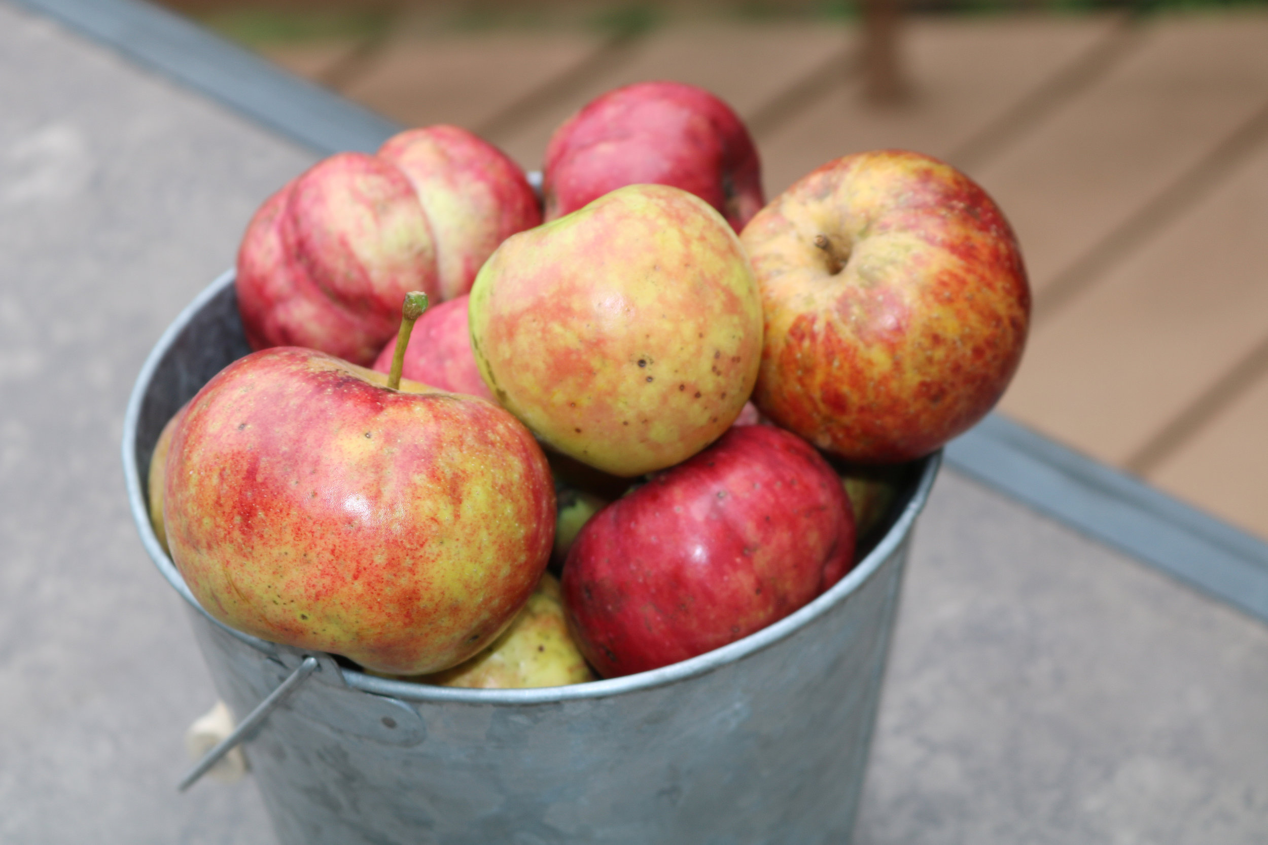 A bucket of apples from Seed Savers Exchange's Historic Orchard.