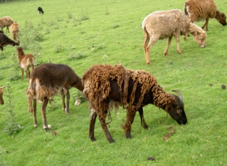 Wool — Old Line Soays