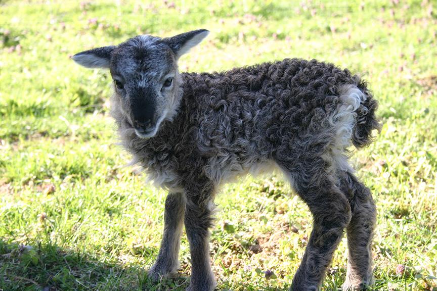 Lambs2008 024.jpg