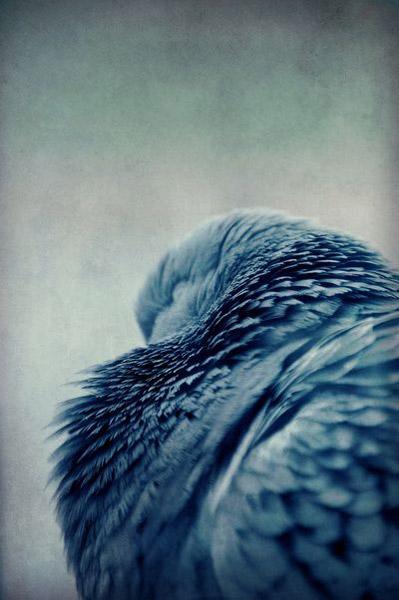 Society 6, inky blue bird feathers