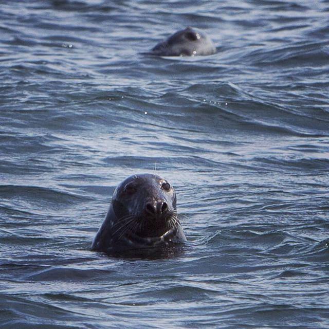 Seals checking me out... #maine #seals #greyseal #ocean #kayaking #summer
