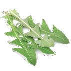 organic dandelion leaf