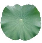 organic lotus leaf