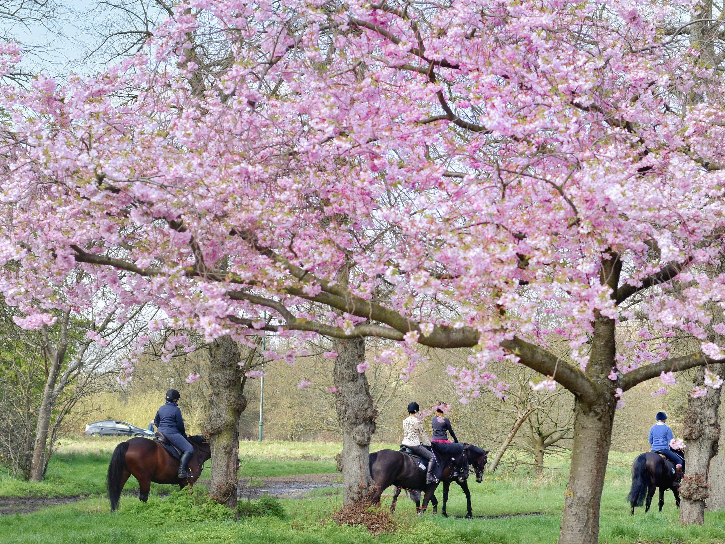 Katie-Collins-Cherry-Blossom.jpg