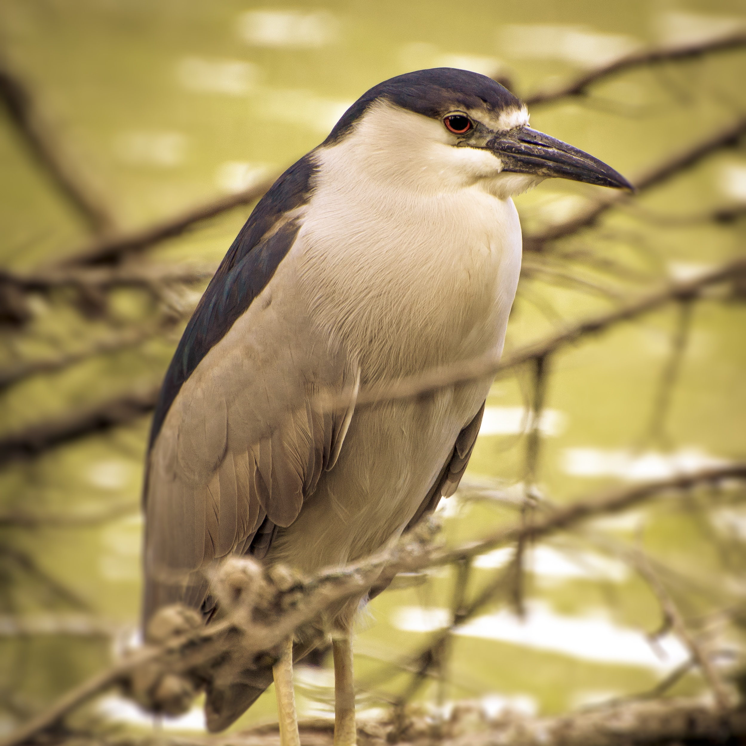 Black-crowned Night Heron (2015)