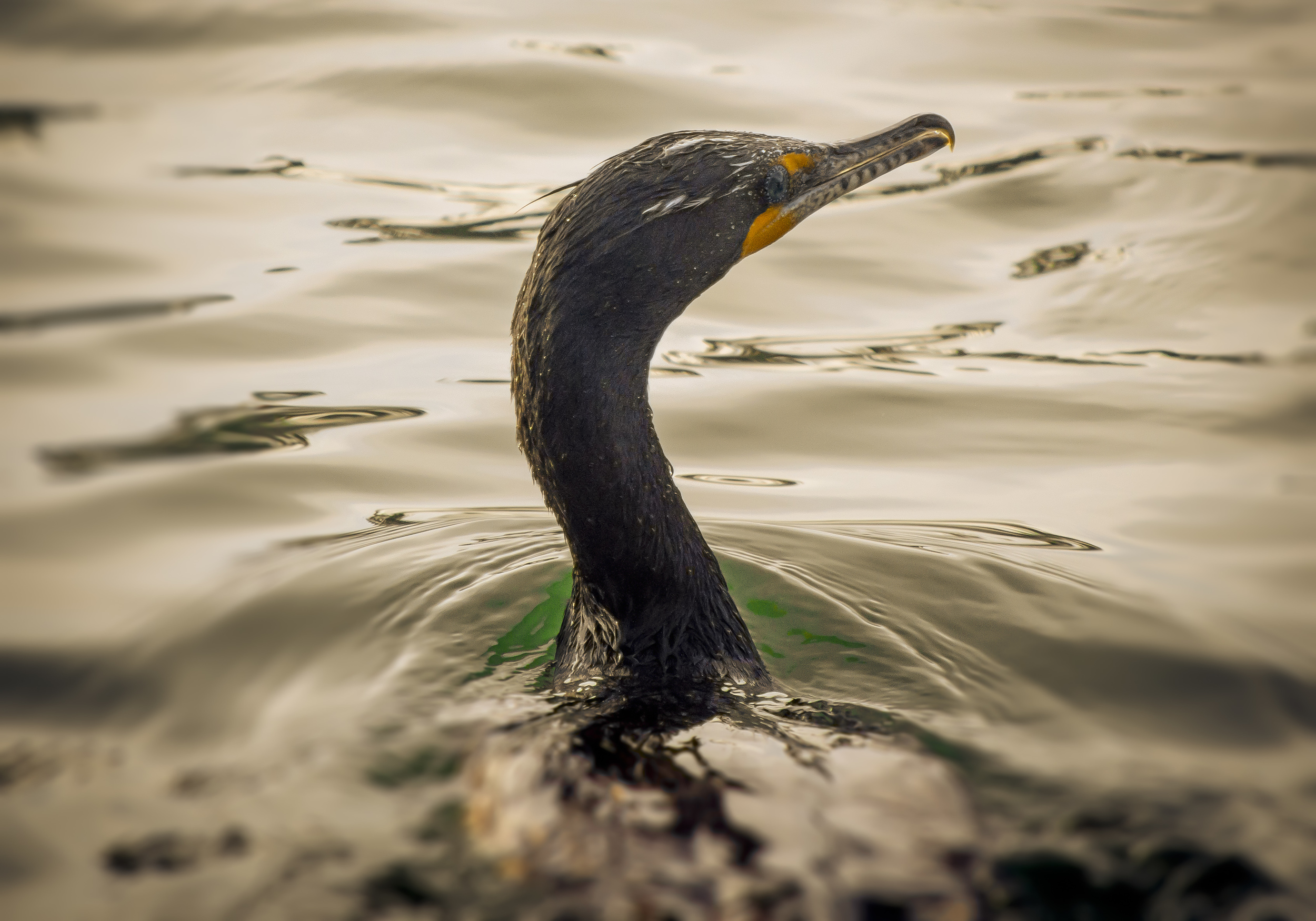 Double-crested Cormorant (2015)