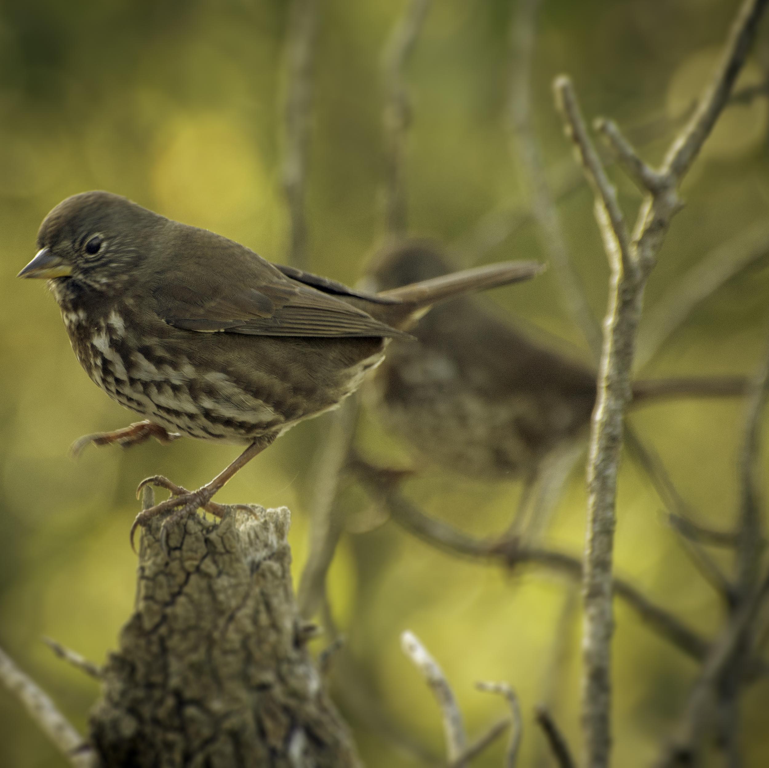 Fox Sparrows (Lake Merced, San Francisco)