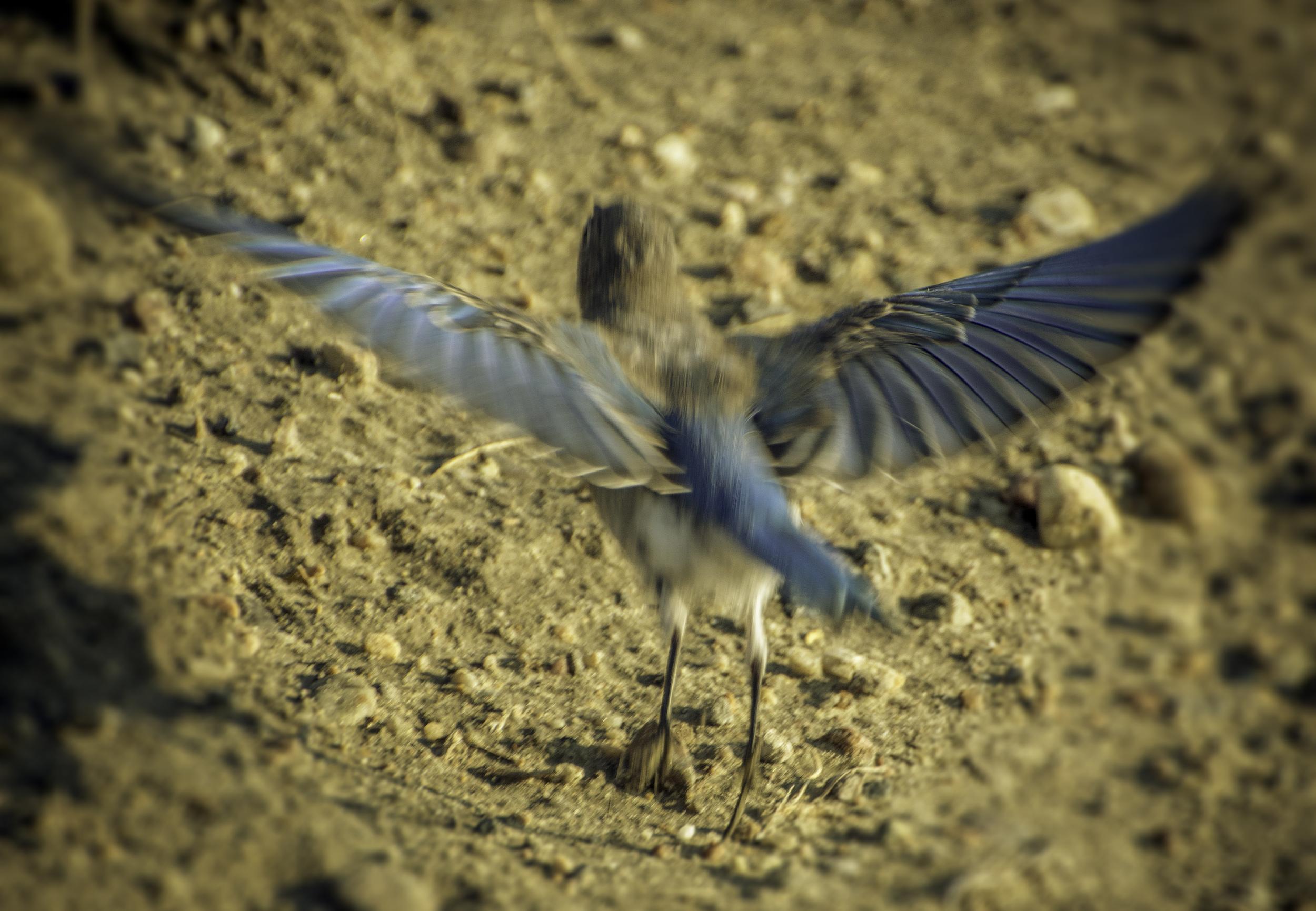 Mountain Bluebird (Ennis Lake, Montana)