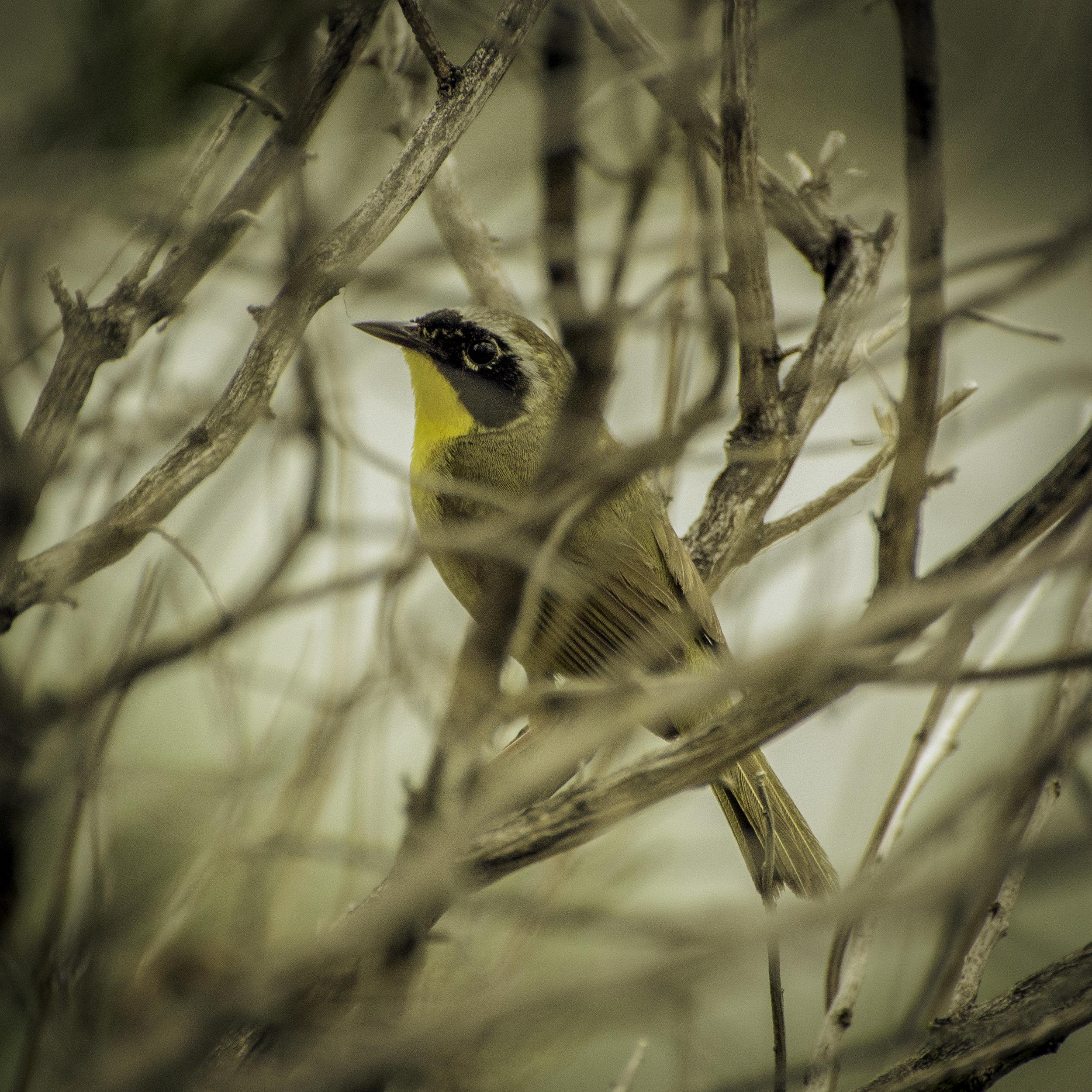 Common Yellowthroat (Hammonassett, Connecticut)