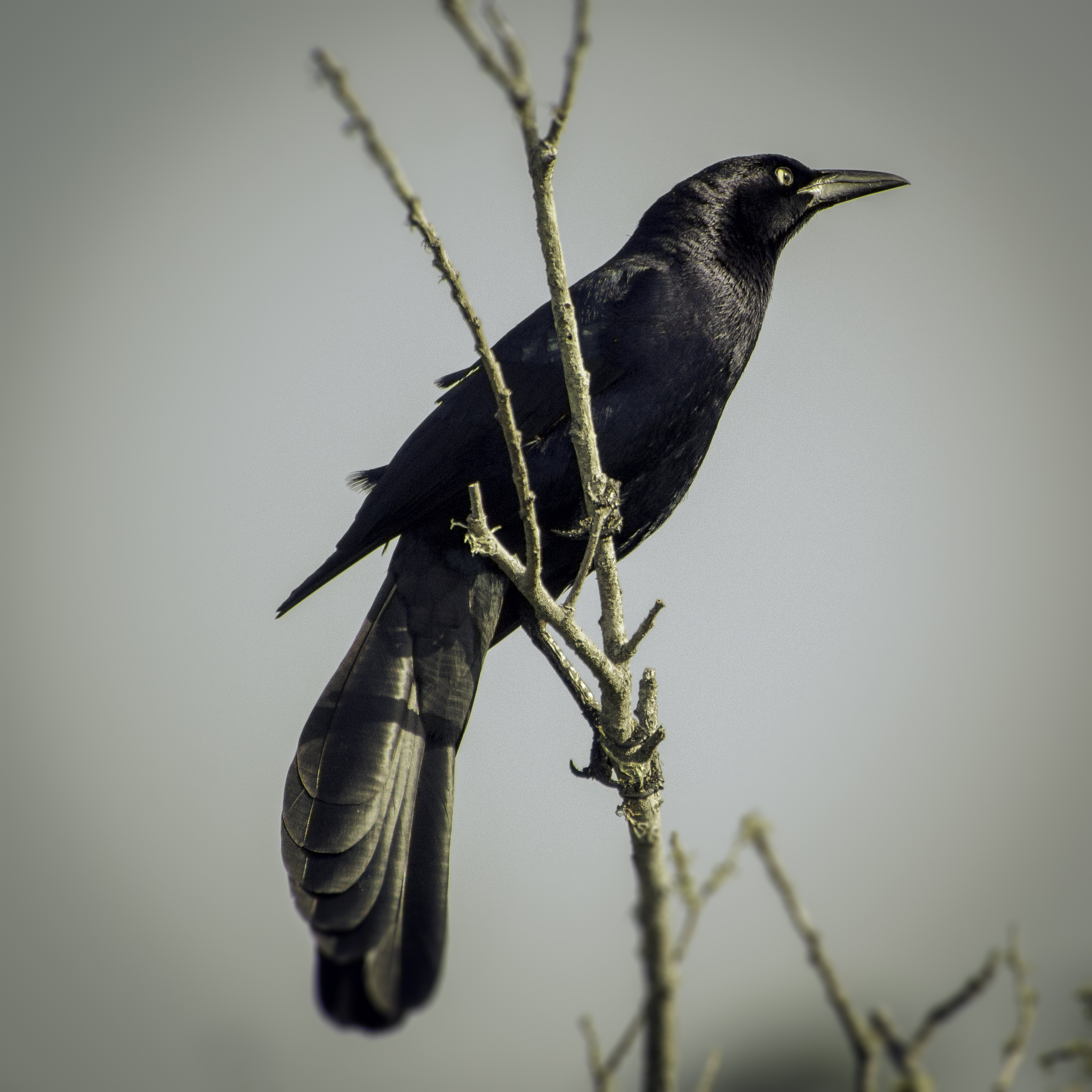 Great-tailed Grackle (Lake Merced, San Francisco)