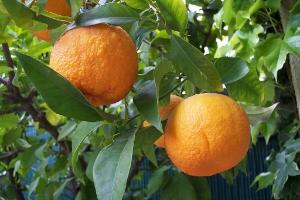 Bitter oranges ( Citrus aurantium )