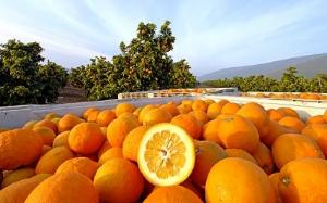PHOTO BY DAVID KARP, LA TIMES  JB Ranch bitter orange orchard in Seville, CA.