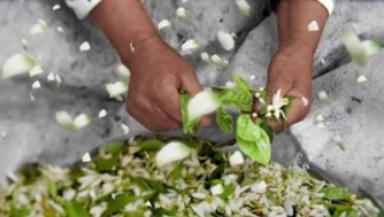 PHOTO COURTESTY OF  BEAUTY ON TRIAL   A Tunisian man picks bitter orange blossoms, later to be distilled into neroli oil
