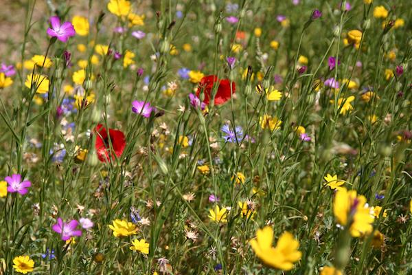 wildflower meadow growing tips | the simple things