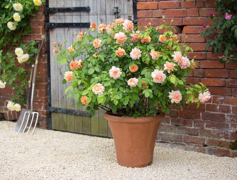 david austin roses offer.jpeg