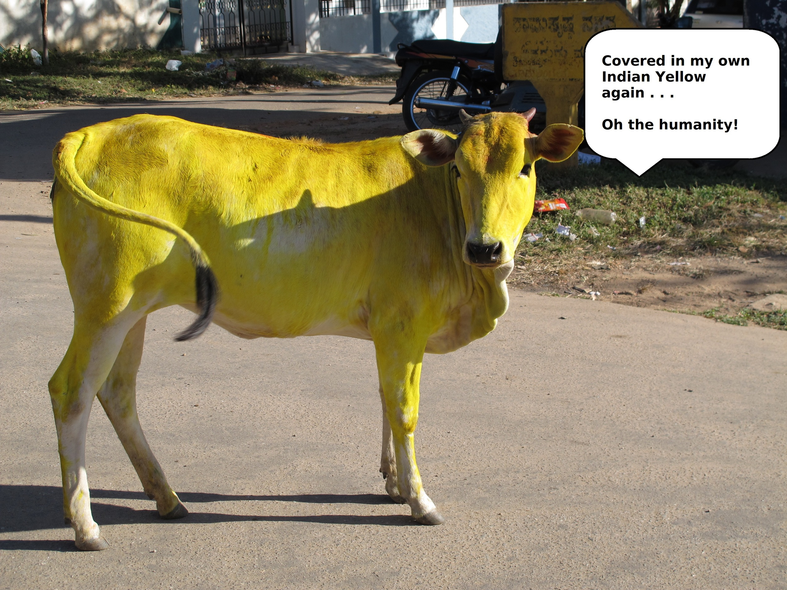 A Cow Covered in Synthetic Indian Yellow Pigment