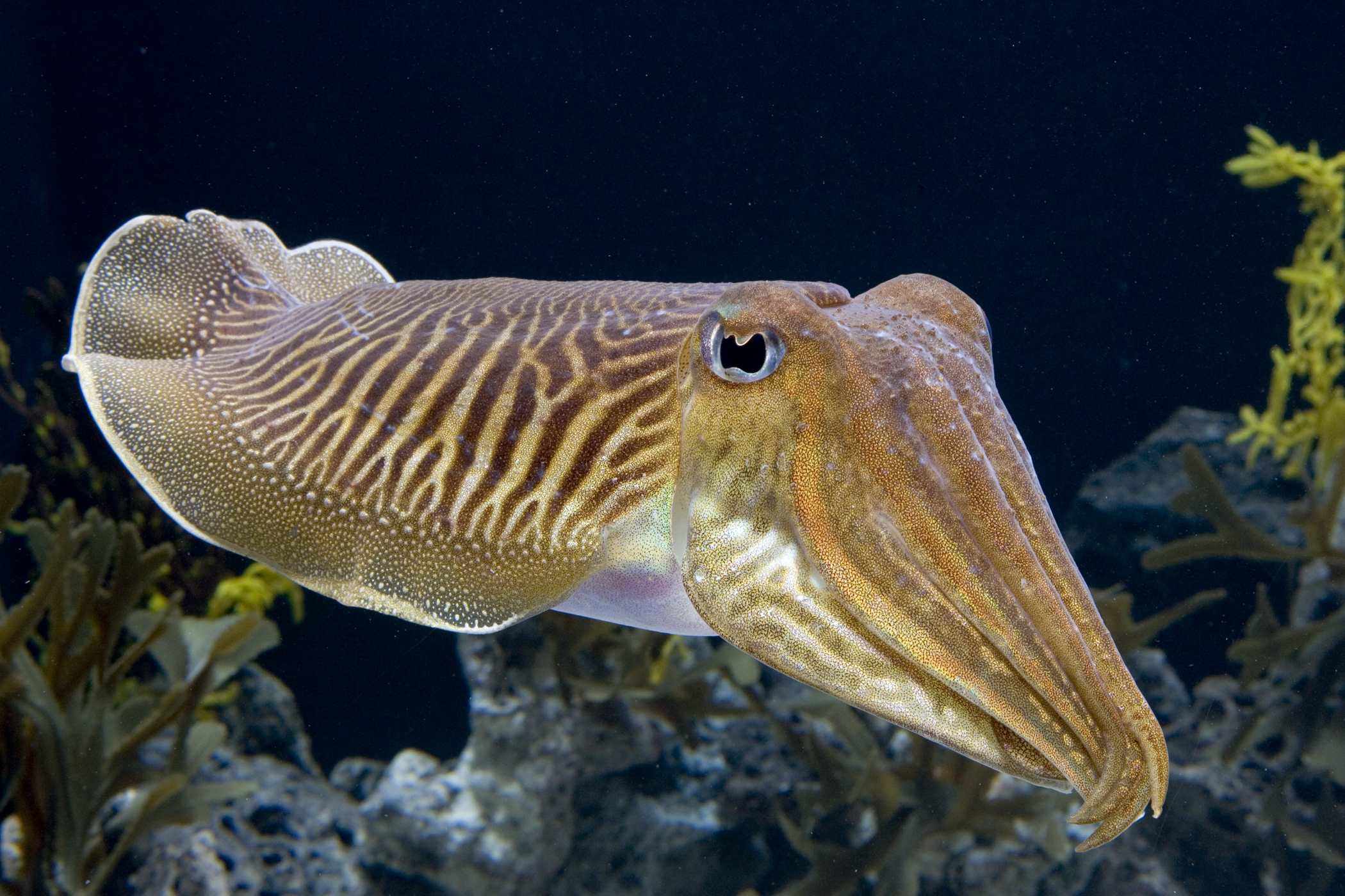 The Cuttlefish, from which Sepia pigment is derived