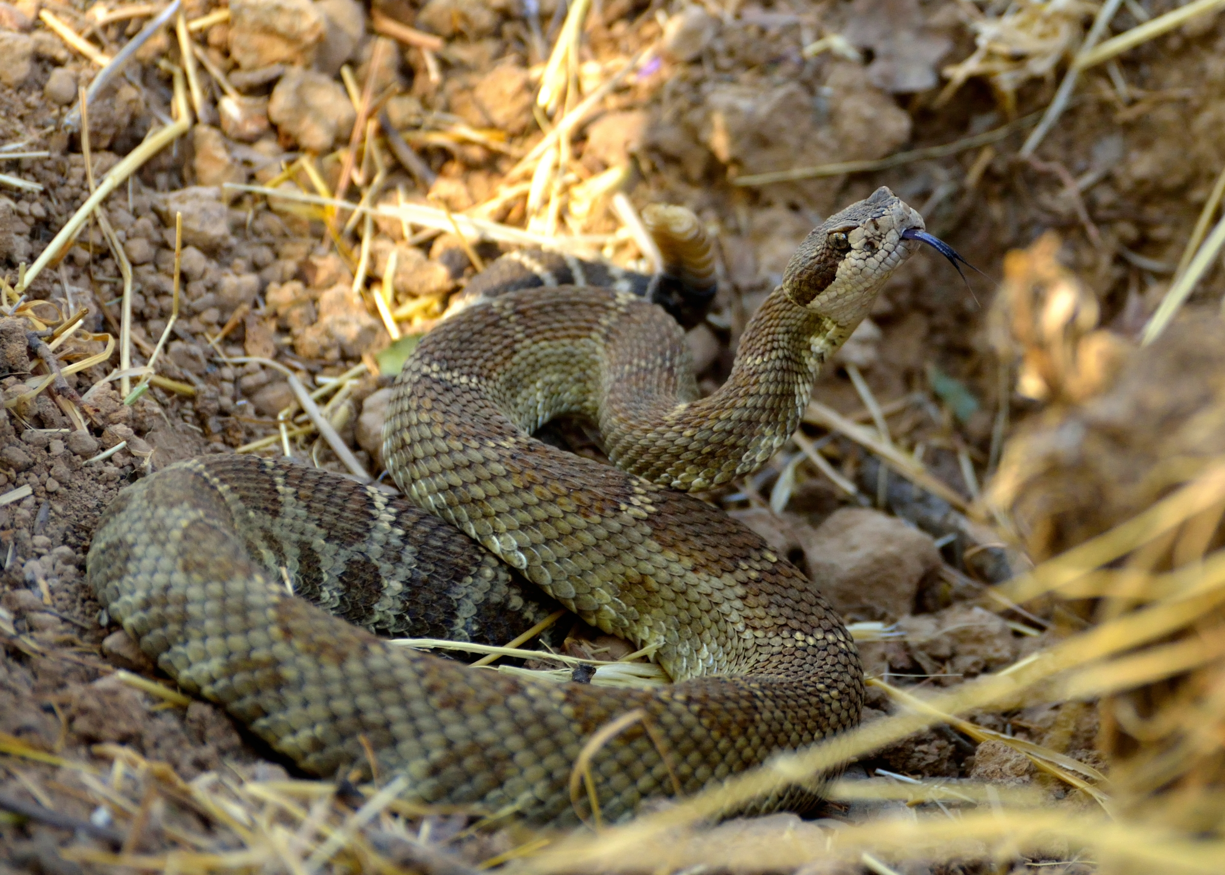 Pacific Rattlesnake by Richard Douse