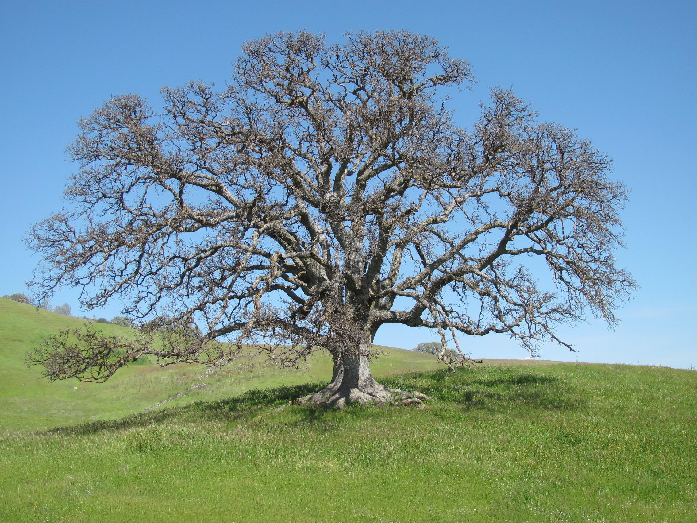 Oak by Jay & Terri Thesken