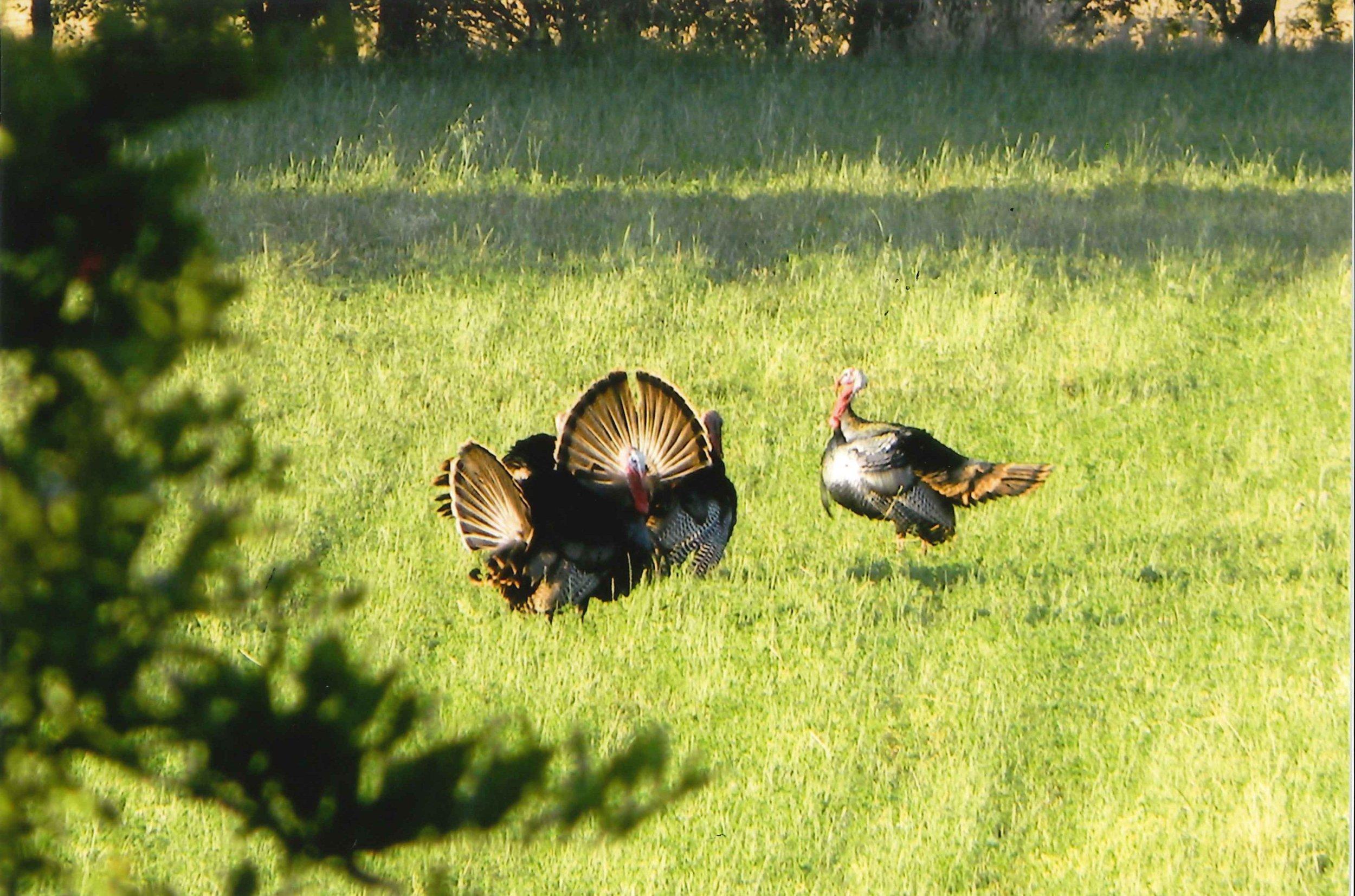 Turkeys by Sandy Dubose