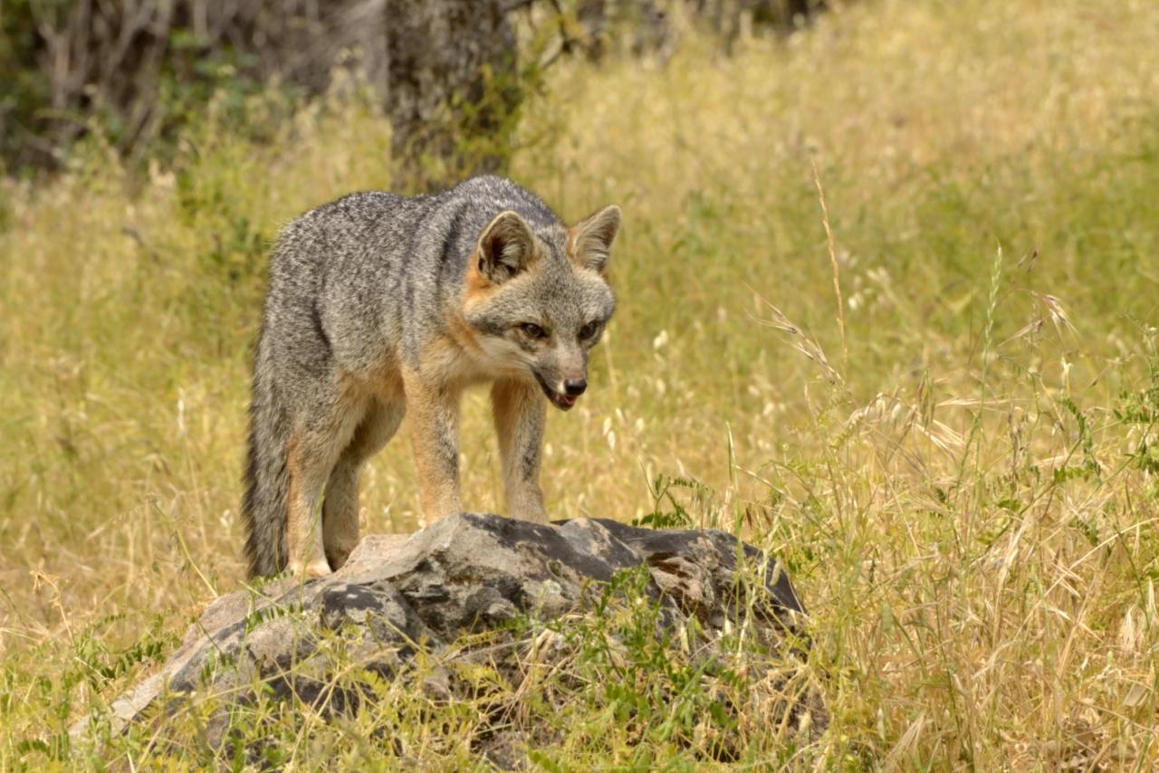 Gray Fox by Richard Douse