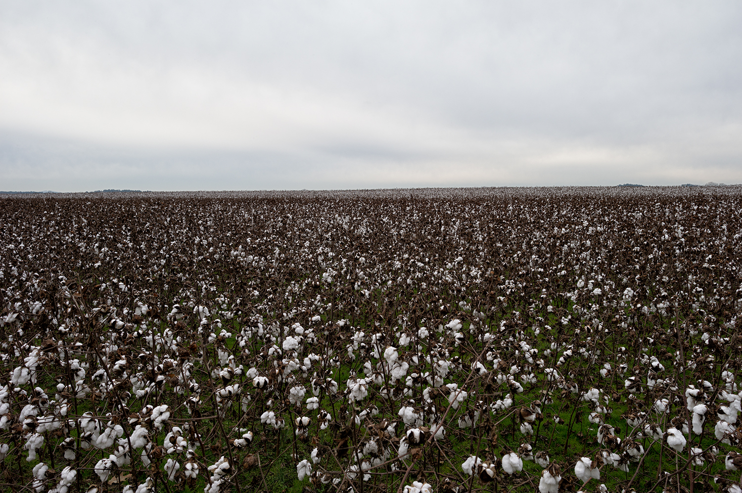 L1006950   us mf cotton field Cherokee, AL.jpg