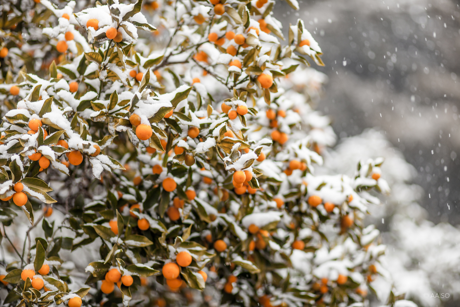 Snow-covered fruits