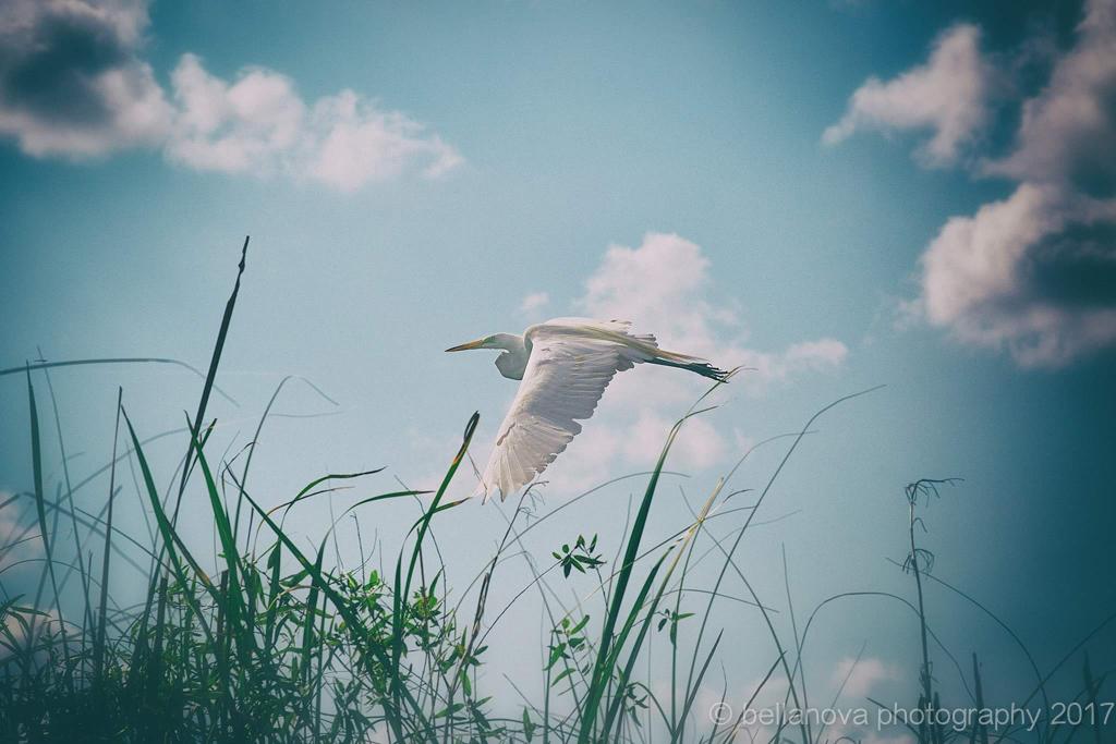 Flight of Freedom. Bird in Everglades. CassyParis.jpg