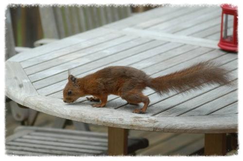 eekhoorn op tafel minnebo.jpg
