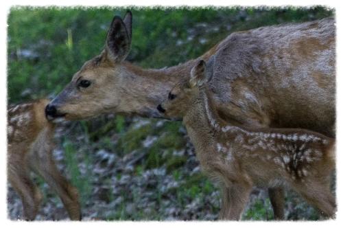 moeder hert met 2 jongen 880x533.jpg