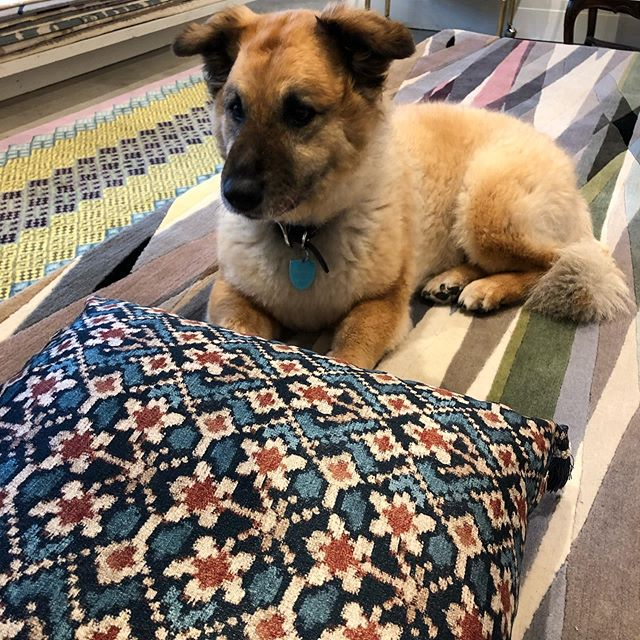 Pumpkin 🐕 just can't get enough of this pillow made with our Almaty Velvet in Red/Blue. Caught her mesmerizing over this while my visit to @travisandcompany 😍😍😍😍 #carolinairvingtextiles #dogsofinstagram #almatyvelvet