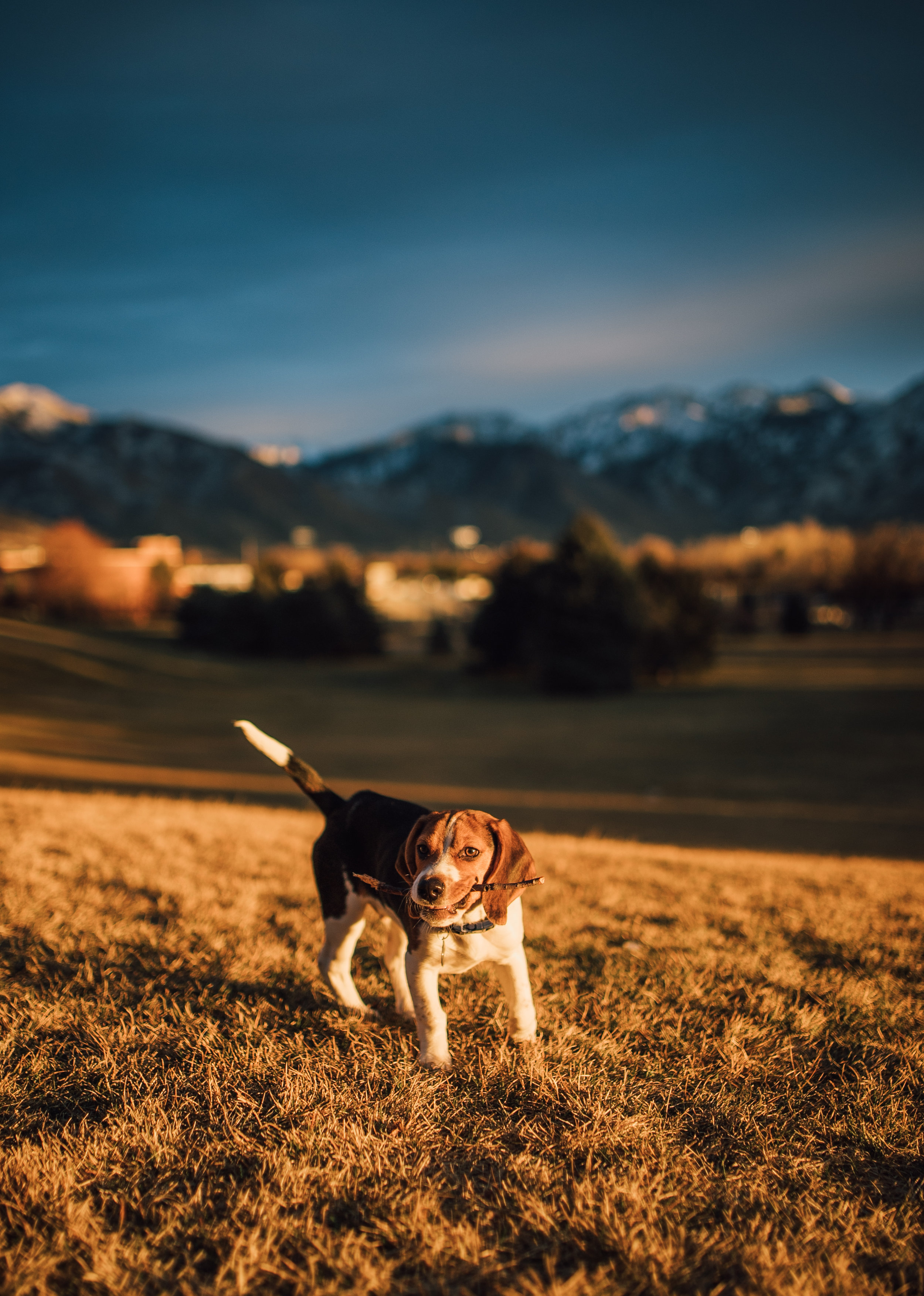 Shako the Beagle -