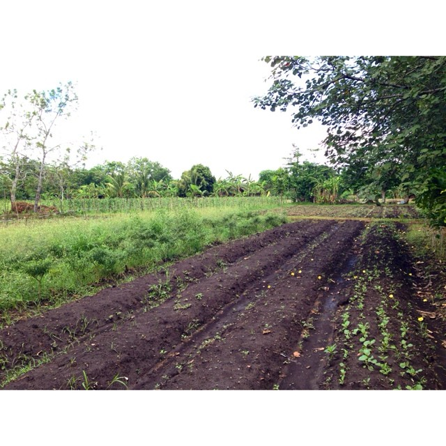 """This patch of  #lahuertaderosario  is called """"pakbet"""" - because all the veg needed to make pakbet is found here. BYOB - bring your own bagoong."""