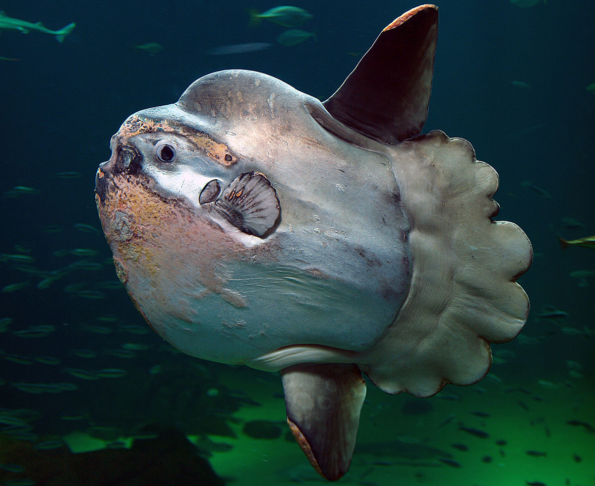 1200px-Sunfish2.jpg
