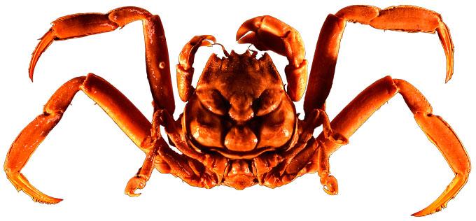 Samurai-crab-1.jpg