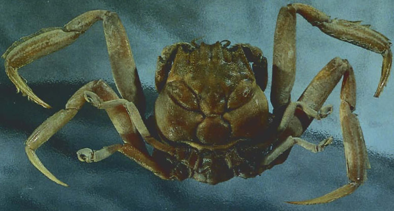 samurai-crab.jpg