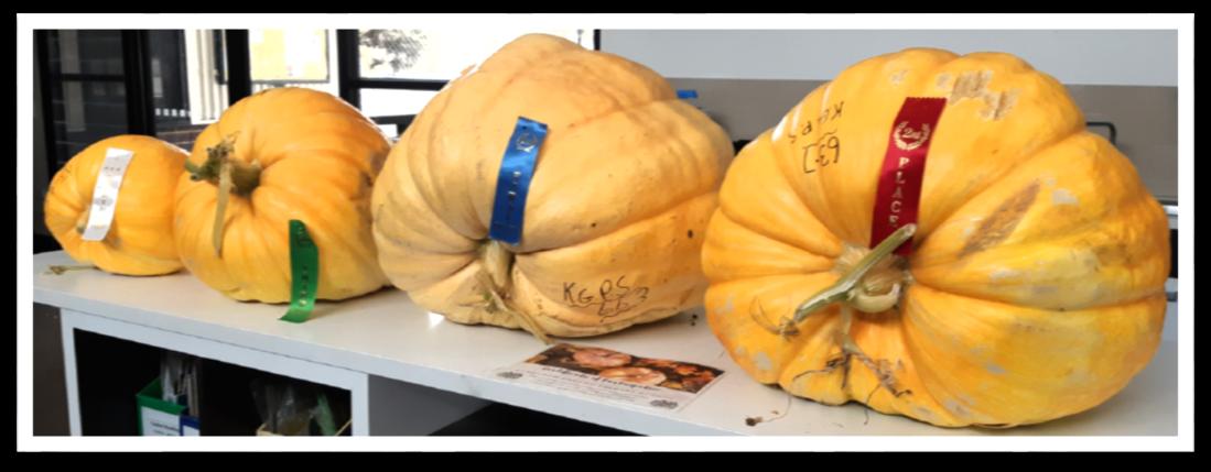 prize pumpkins.png