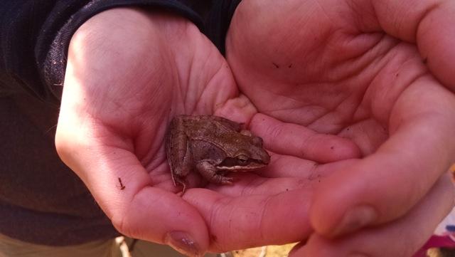 Wood frog.jpeg