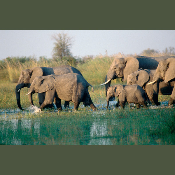 Elephants live in highly organized matriarchal herds of 10 to 50, all related in some way. If separated they can stay in communication over many miles through low frequency sounds below human hearing range. During drought they use tusks to dig to underground water they are thought to locate by smelling the earth above.
