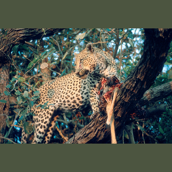 Leopards compete with larger predators, especially lions, so they like to cache prey in trees where lions don't go. Powerful leg and neck muscles enable them to carry an adult antelope, chimpanzee or even young giraffe up to three times their weight for hundreds of yards to a safe place.