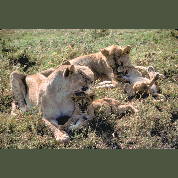 Lions are Africa's largest carnivores and the only cats that live in large family groups—advantageous for their group-ambush hunting style. They're also the most sexually dimorphic—males are significantly larger than females, with long head and neck manes.