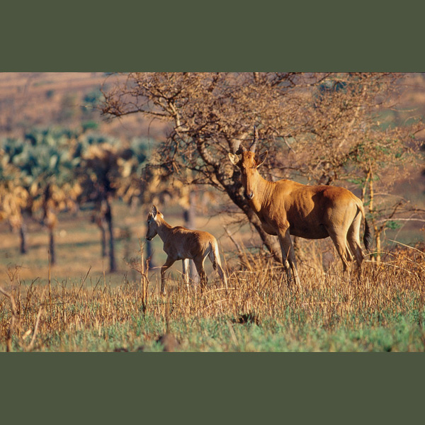 Hartebeest are among the swiftest antelopes, capable of 48 miles an hour (80 kph) when fleeing a predator, and, with greater endurance, able to outdistance most of them. They can make do on the toughest grasses, and go without water except when unable to get melons or tubers.