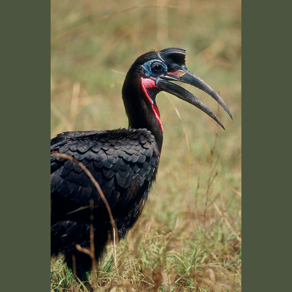 Turkey-sized ground hornbills prefer walking on stubby, broad-soled feet to flying. They frequent low-grass steppes and savannahs where they stalk prey that may include snakes, tortoises, squirrels, even small hares. Males' booming calls are audible for miles. One of the world's longest-lived birds, captives have survived more than 40 years.